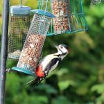Woodpecker feeding