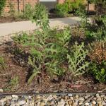 Weeds choking the exterior landscaping - not acceptable for a Hilton property