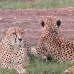 Finally..Cheetahs