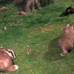 Badgers and pine marten from Rothiemurchus Hide