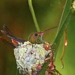 Una colibrí