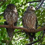 resident barking owls at Home Valley.