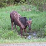 One of the many Moose!