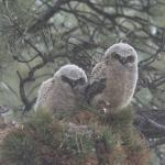 great horned owls could have sold tickets to photographers