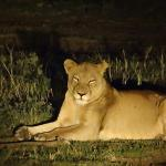 Lioness on Sunset Drive (on S28)