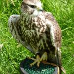 Dave the gyrfalcon - beautiful and very fast but we didn't get to see him fly today