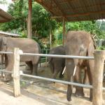 elephants in Kai Bae village