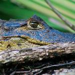Tortuguero es un área conocida por sus cocodrilos.