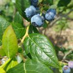 Organic Blueberry Crop