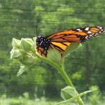 Monarch Butterfly House