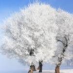 ICED TREE