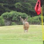 Hirsche auf dem Golfplatz