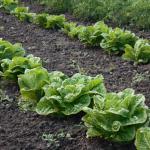 salad - bainas
