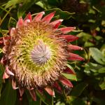 Beautiful proteas in the garden behind kula lodge..