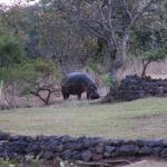 Max the Hippo