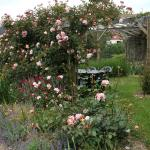 The rose, Albertine on the pergola.