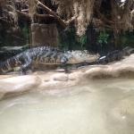 Alligators waiting on a jumbo rat.