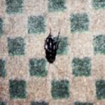 Dead Cockroach on Floor Between the Two Beds