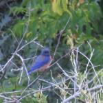 Mountain Bluebird (I think)
