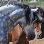 Les plus beaux chevaux de l'espiguette