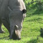 Buffalo Hills White Rhino
