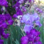 Iris from the gardens