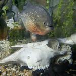 Piranhas-Räuber des Regenwaldes
