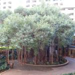 Gus the Bayna Tree