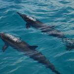 Hawaiian Spinner Dolphins