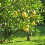 citrons à portée de main