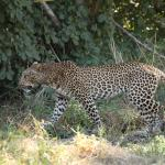 Leopard sighting during game drive