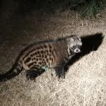 beautiful civet
