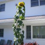 Northernaire Sunflower