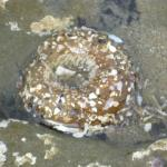 Sea Anemone @ Tidal Pool