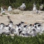 Big group of terns.