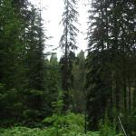 You can also see North Idaho white pine forest