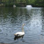 Swan in foreground along shore, with swan boat in background
