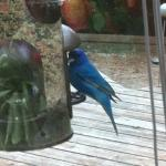 Indigo bunting enjoying breakfast