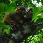 Monkeys kissing
