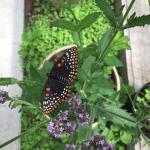 Butterflies of Cape Cod