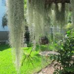Spanish Moss on tree near burial  grounds