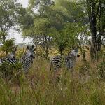 Zebras seen on our Walking Safari