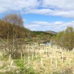 New Scottish trees being planted