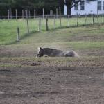 One of the horses rolling in the dirt