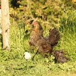 Gallina con sus polluelos