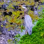 Great Blue Heron in the Delta Ponds...