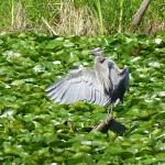 Local Blue Heron june 2015