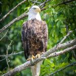 This eagle was sitting in a tree very close to us.