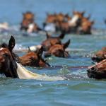 Chincoteague Pony Centre Photo
