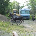 Moose visitation at B&B!!